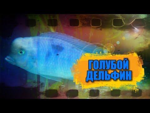 Нерест аквариумной рыбки  голубой дельфин.