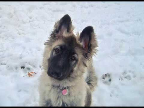 ISSR Shiloh Shepherd Growing Up