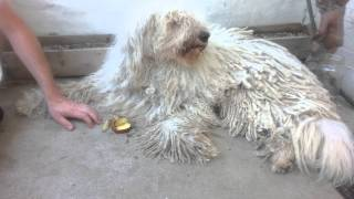 Caesar The Komondor Dog Eating Apple Swan