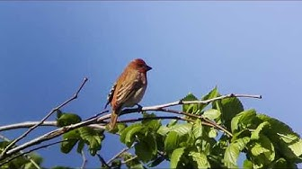 Common Rosefinch - Tarastenjärvi