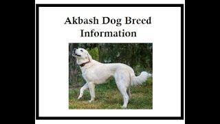 Akbash Dog Breed Information