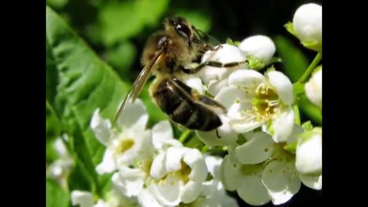Узнай сколько стоит пчелосемья и пчелопакет