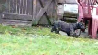 Cesky terrier Scooby Laraff