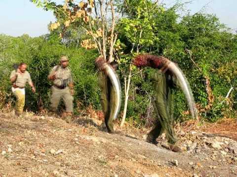 Elephant hunt  Mozambique – RAGOZIN SAFARIS
