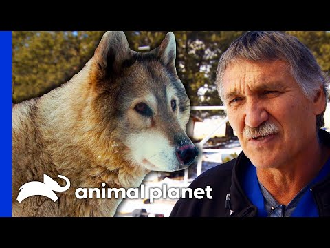 Dr. Jeff Operates On Three Rescued Wolves   Dr. Jeff: Rocky Mountain Vet