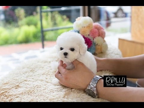 Real Teacup Bichon Living DOLL! Mercy - Rolly Teacup Puppies