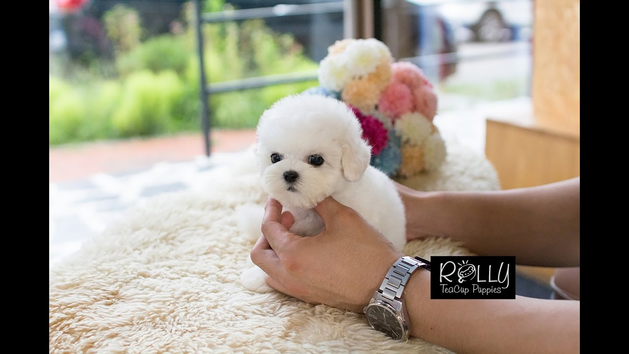 Real Teacup Bichon Living Doll Mercy Rolly Teacup