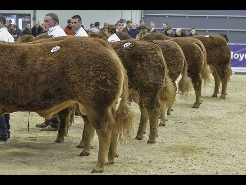 limousin-sale-at-carlisle-(top-12-prices)-february-14th-2015