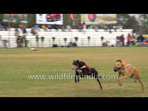 Dogs get raced for sport in Punjab