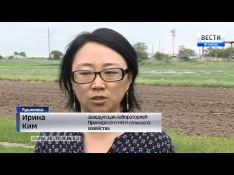 Приморские ученые вывели новые сорта картофеля