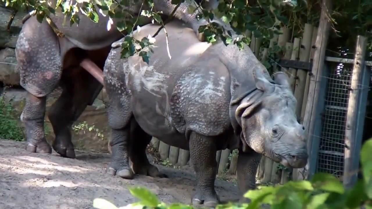 Download Rhino Mating ZOO