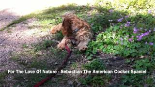 For The Love Of Nature - Sebastian The American Cocker Spaniel