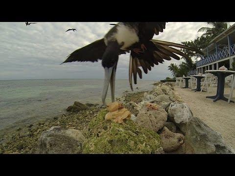 Feeding the Frigatebirds at Tukka Restaurant, Grand Cayman
