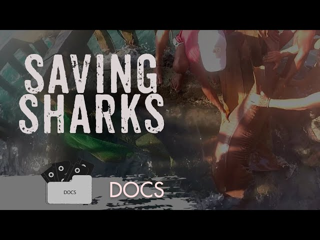 Saving Sharks - Caribbean Sea