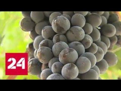 Гастротур по Крыму: на полуострове к домашнему сыру предложат молодое вино - Россия 24
