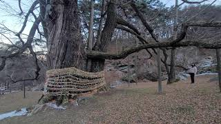 생로병사의 비밀은 명당에 있다.천년의 은행나무(010-…
