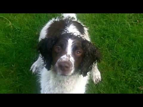 Springer Spaniel Alfie Moon after a bath (soaking wet)  with a squeaky.