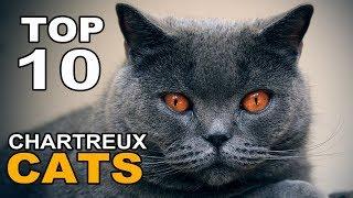 TOP 10 CHARTREUX CATS BREEDS