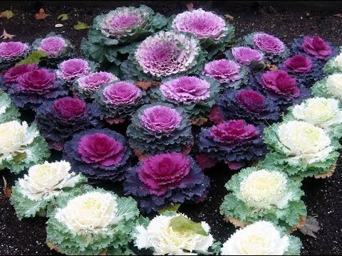 579 How To Grow N Care Ornamental Cabbage Kale Collards Hindi