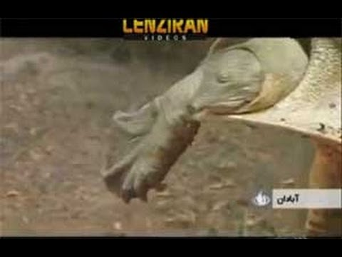 Endangered turtles of South Pars Gas field , eaten by Chinese technicians !