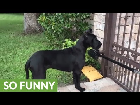 Great Dane learns to fetch, deliver and open packages