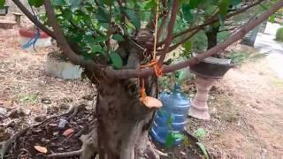 Bonsai Beringin calon bintang besar ukuran pot 2 m