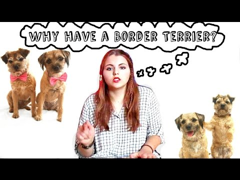 Why have a Border Terrier?