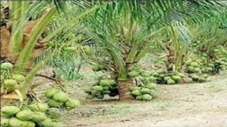 WOW!!! Dwarf Coconut Tree - Amazing Agriculture Technology