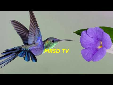 51 Smallest Hummingbirds Birds In The World! Most Unique 51 Bee-Humming Tiniest Birds On Earth#51