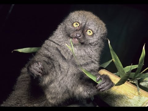 Madagascar's Greater Bamboo Lemur