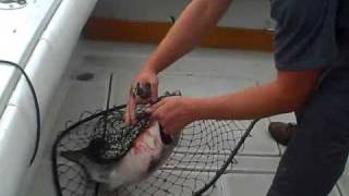 Chicago Lake Michigan Fishing- Huge 18# King Salmon