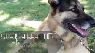 Jasmine Von Jahrig - Westside German Shepherd Rescue