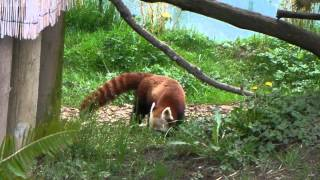 Red Panda at Sequoia Park Zoo, Eureka, CA