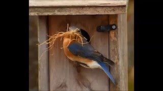 Eastern Bluebirds Nesting