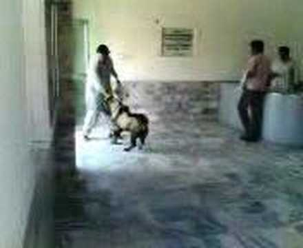 Funny Hypo Goat at Animal Hospital in Pakistan.
