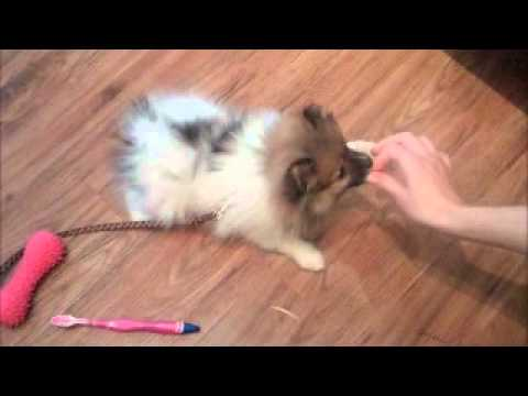 Pomeranian Puppy Training