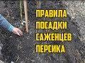 Как посадить персик правильно / Посадка персика осенью / Правила посадки саженцев персика