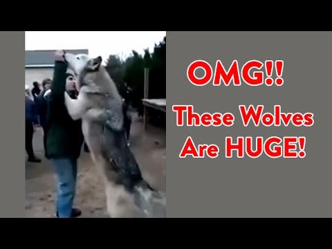 Wolf Size - Huge Wolves !