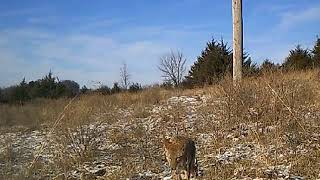 Coyote Video captured by Olymbros T3 Trail Camera