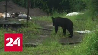 Как медведи людей гоняют и кур едят (видео) - Россия 24
