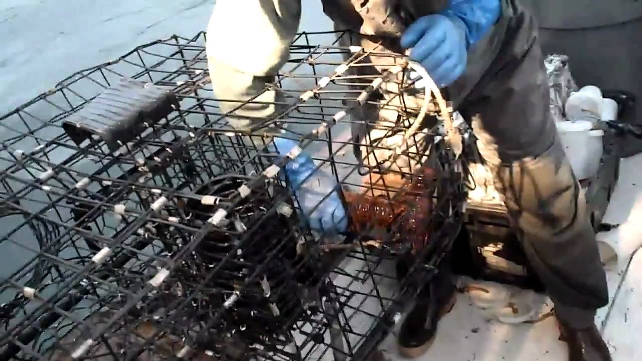 Lobster fishing southern california youtube for Lobster fishing california