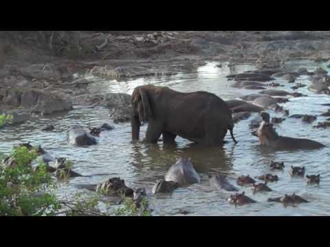 Hippo vs. Elephant Tanzanie 2009