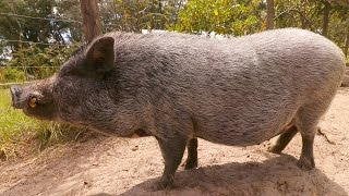 Pot Belly Pig Care For Beginners
