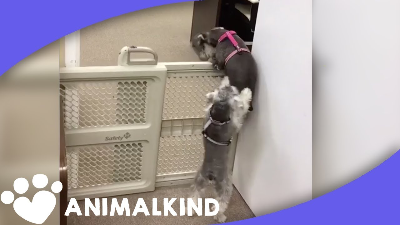 Clever Puppies Work Together To Climb Over Baby Gate | Animalkind