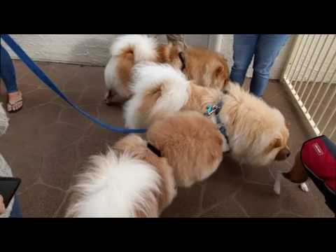 Chow Chow Party