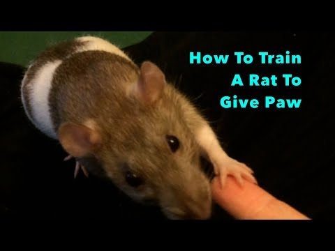 How To Train A Rat To Give Paw - with Audio!