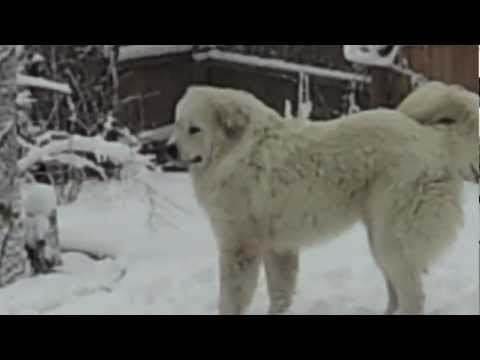 Rottweiler and Great Pyrenees Playing in the Snow