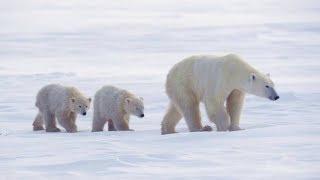 Белые медведи (рассказывает зоолог Никита Овсянников, продолжение)