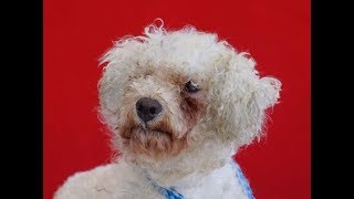 A5085753 Thatcher is a fluffy 2-year-old white male Toy Poodle who ...