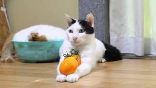 のせ猫 x 黄色トマト Cat and yellow tomatoes
